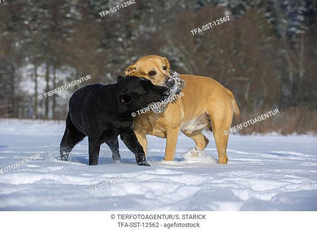 2 Labrador Retrievers