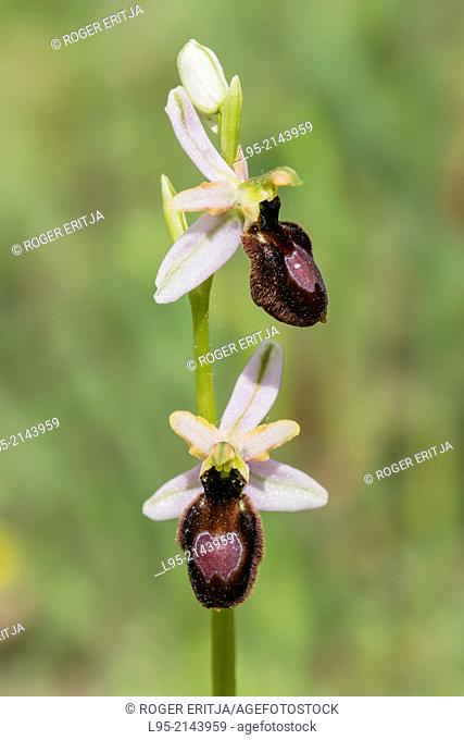Woodcock orchid flower, Montseny, spain