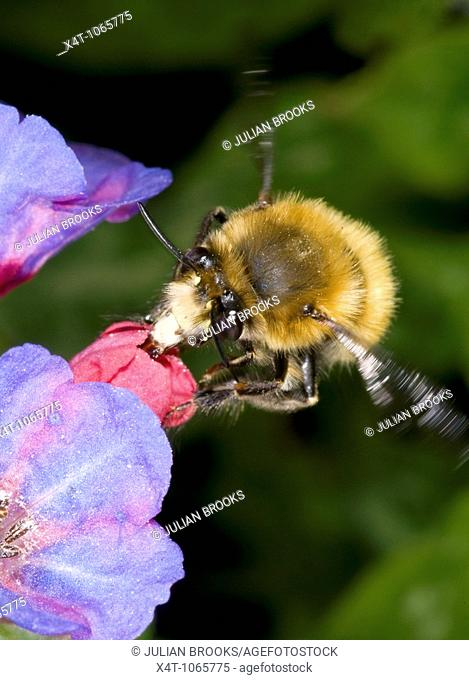 hairy footed flower bee Anthophora plumipes  Male, in flight approaching a pulmonaria flower  Males are brown