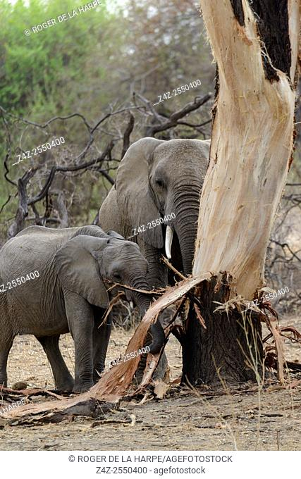African bush elephant (Loxodonta africana) stripping bark from a tree (elephant dammage). Ruaha National Park. Tanzania