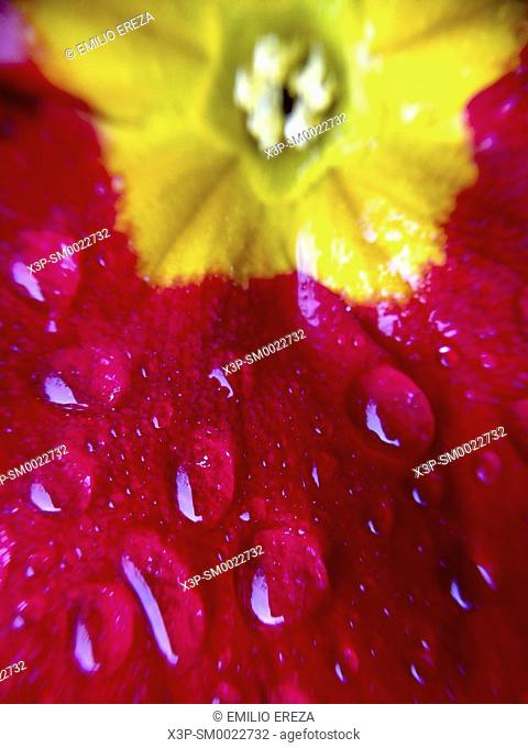 Macro of droplets on Primrose