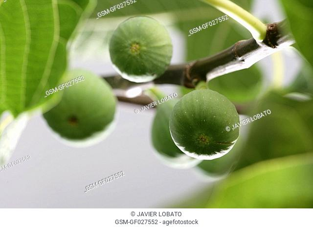 Green figs in a tree bunch detail