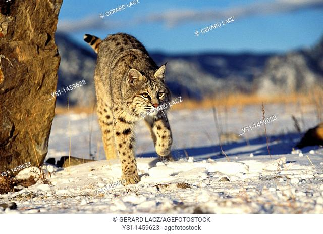 BOBCAT lynx rufus, ADULT STANDING ON SNOW, CANADA