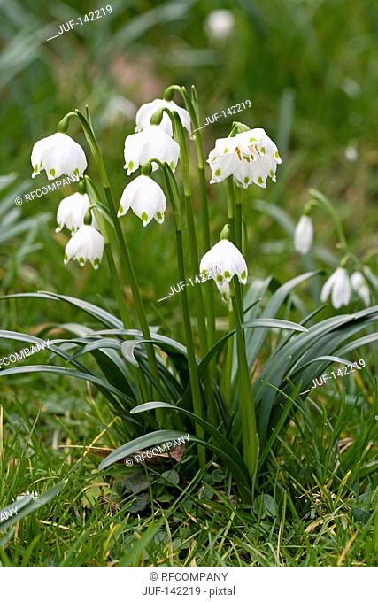 Spring Snowflake / Leucojum vernum