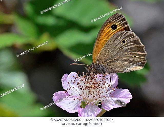 Meadow Brown - Maniola jurtina, Greece