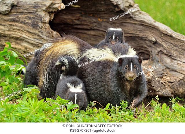 Striped Skunk (Mephitis mephitis) Mother and young, captive, Minnesota wildlife Connection, Sandstone, Minnesota, USA