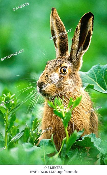 European hare Lepus europaeus, portrait, Austria, Burgenland, Neusiedler See, April 03