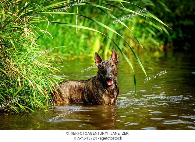 Miniature Bullterrier in the water