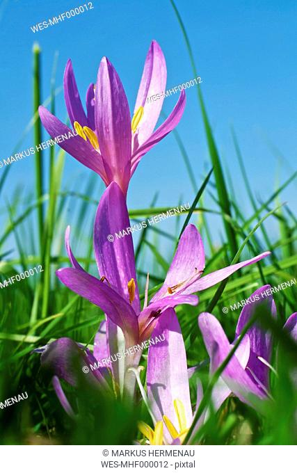 Germany, Hesse, Autumn crocus flower