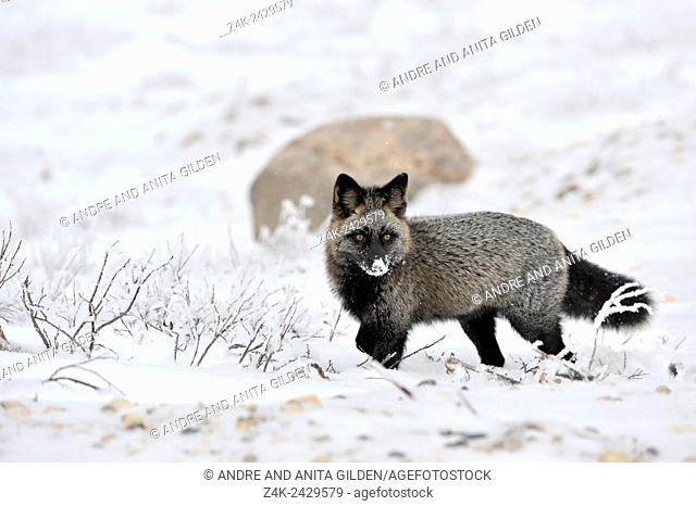 Red fox (Vulpes vulpes) with melanism, the so called Silver fox with snow on his nose, Churchill, Manitoba, Canada