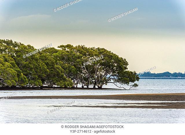 Mangrove trees i n swamp at low tide