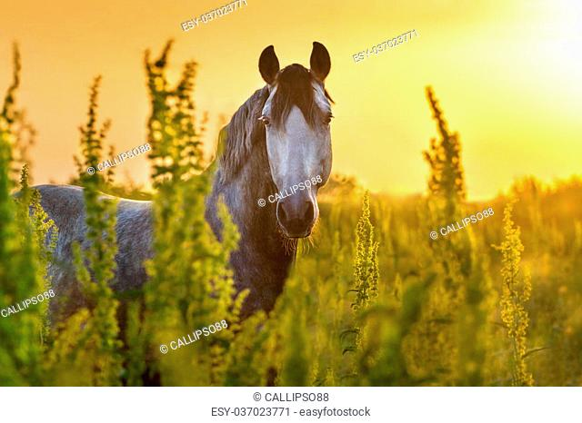 Portrait of beautiful grey lusitano horse at sunrise