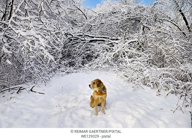 Dog sitting on forest path blocked by fallen trees covered in ice and snow Toronto
