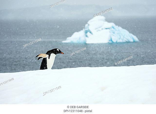 Chinstrap Penguin (Pygoscelis antarctica) in a snowfall; Half Moon Island, South Shetland Islands, Antarctica