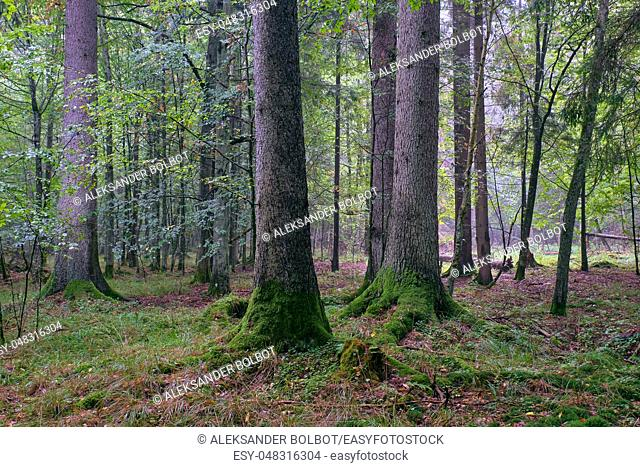 Deciduous stand of Bialowieza Forest with hornbeams and spruce in summer, Bialowieza Forest, Poland, Europe