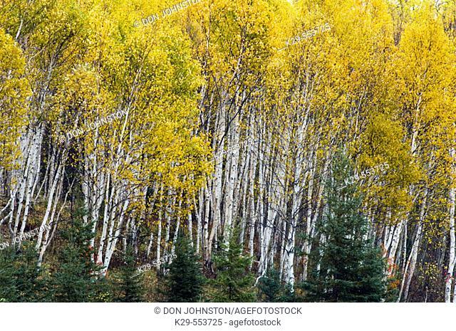 Birch trees in fall colour. Sudbury, Ontario, Canada