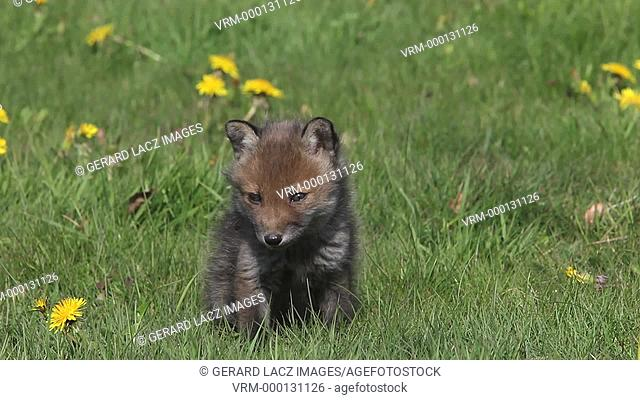 Red Fox, vulpes vulpes, Pup Sitting in Meadow with Yellow Flowers, Looking around and Scratching, Normandy in France, Real Time