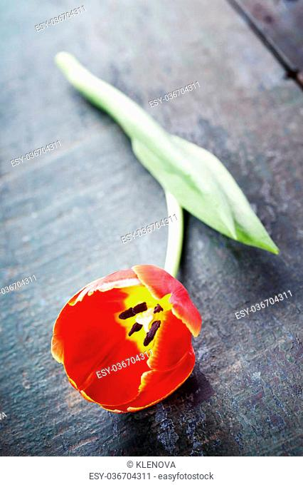 Red tulip on a wooden background with space for text