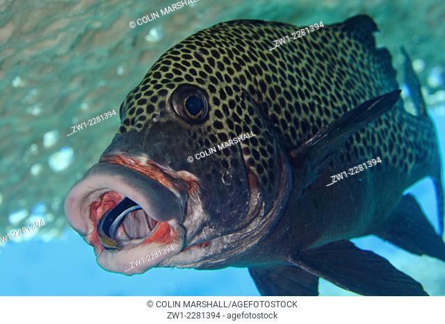 Bluestreak Cleaner Wrasse (Labroides dimidiatus) in the mouth of Many-spotted Sweetlips (Plectorhinchus chaetodonoides) under table coral