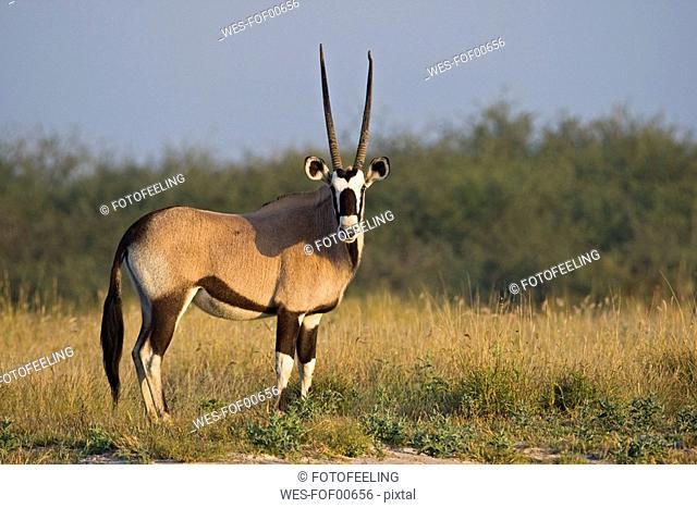 Africa, Botswana, Gemsbok Oryx gazella in grass