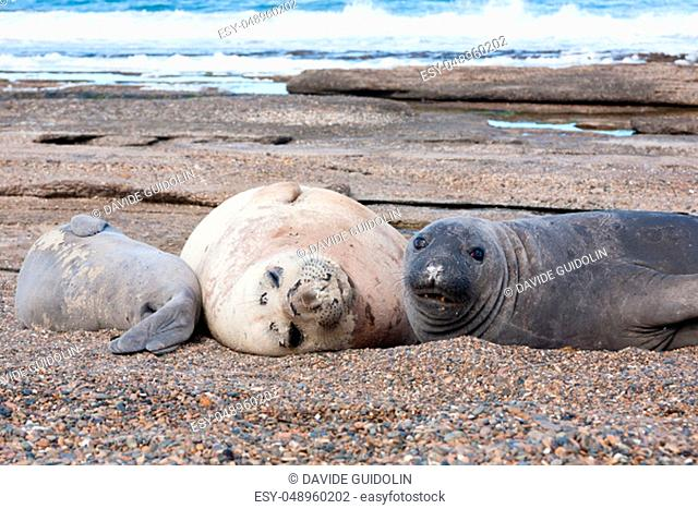 Elephant seals on beach close up, Patagonia, Argentina. Isla Escondida beach. Argentinian wildlife
