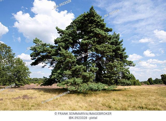 Scots Pine (Pinus sylvestris), Lüneburg Heath Nature Park, Lower Saxony, Germany