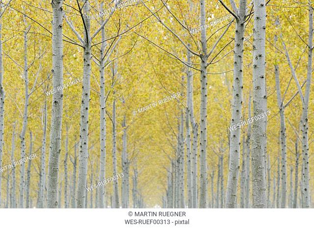 Italy, Lombardy, Poplar trees Populus spec. plantation, spring