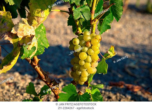 white grapes at vineyard in Milos in Greece