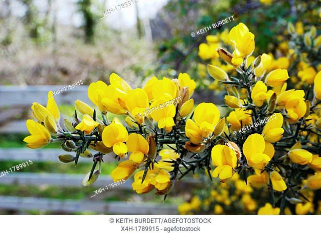 European Gorse  Ulex europea on flower, Wales