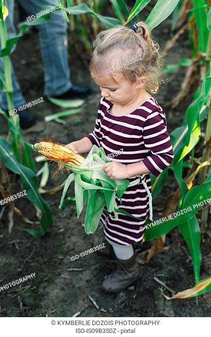 Girl in corn field unwrapping leaves from corn cob