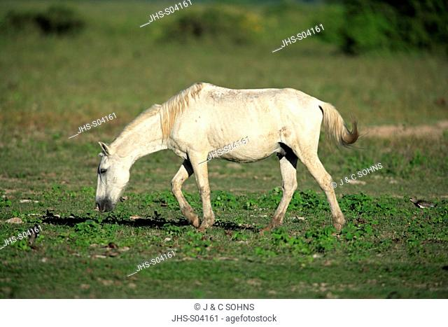 Pantaneiro Horse,Pantanal,Brazil,adult,feeding on grass