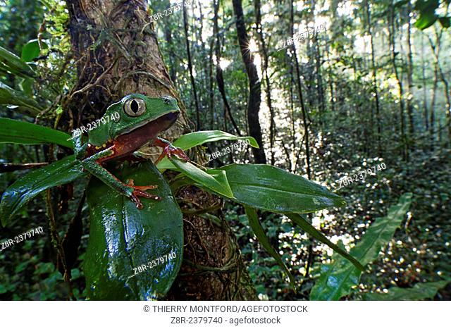 Phyllomedusa vaillanti. White-lined leaf frog on a branch, in the early morning. Forest of the Kaw mountain. French Guiana