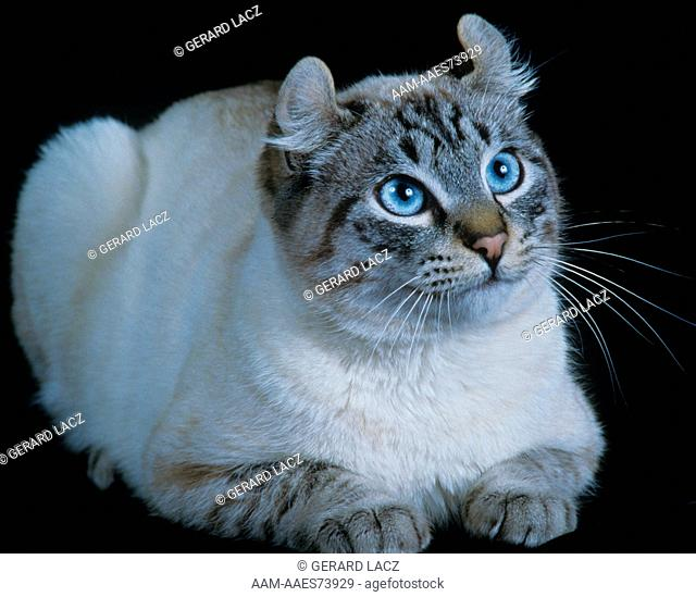American Curl Cat, H