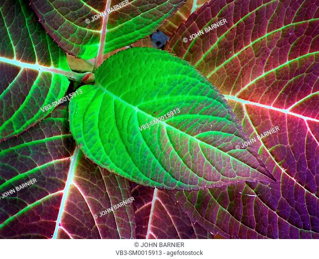 Hydrangea leaves in their bright green and red autumn colors