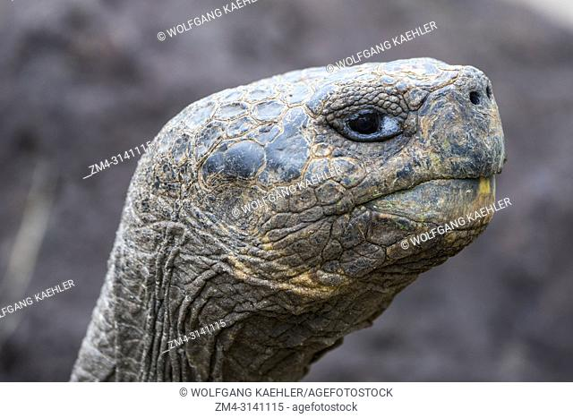 A tortoise at the Jacinto Gordillo tortoise breeding center in the highlands of San Cristobal Island (Isla San Cristobal) or Chatham Island in the Galapagos...