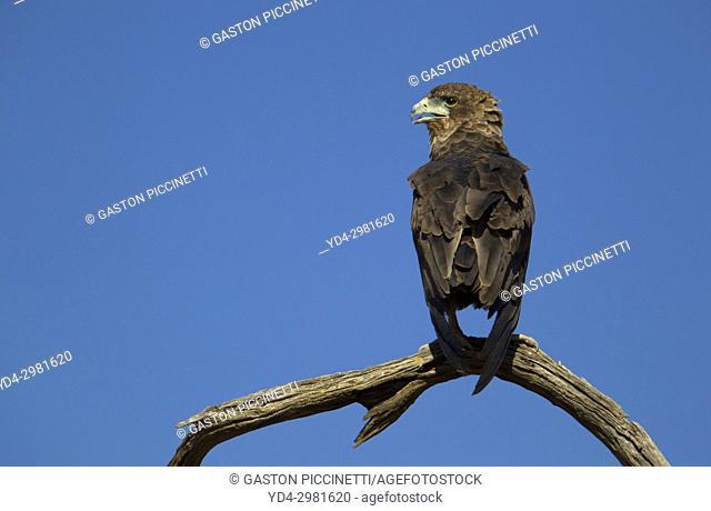 Bateleur (Terathopius ecaudatus) - Inmature, Kgalagadi Transfrontier Park, Kalahari desert, South Africa/Botswana