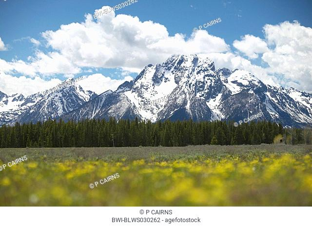 Snow capped Mount Moran in spring with floral foreground, USA, Grand Teton National Park