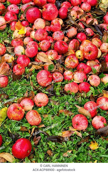 Fallen apples, Manitoulin Island, Ontario, Canada