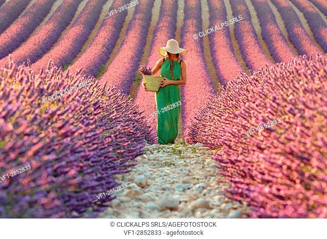 Europe, France,Provence Alpes Cote d'Azur,Plateau de Valensole. Woman in lavender field