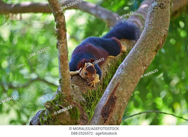 Asia, India, Tamil Nadu, Anaimalai Mountain Range Nilgiri hills, Indian giant squirrel, or Malabar giant squirrel, Ratufa indica