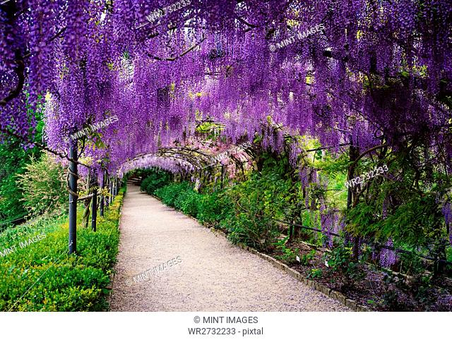 A garden with a pergola and long purple racines of wisteria hanging down