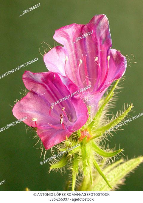 Paterson's Curse (Echium plantagineum)