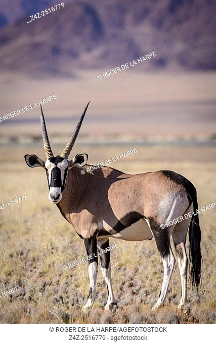 Desert scenery and gemsbok or gemsbuck (Oryx gazella). Sossusvlei. Namib-Naukluft National Park. Near Sesriem. Namibia