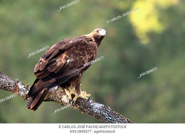 Golden eagle (Aquila chrysaetos), Parque Nacional de Monfragüe, Extremadura, Spain