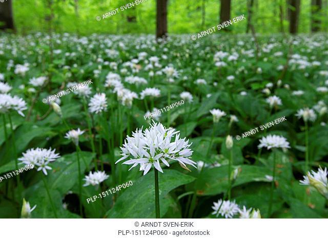 Wood garlic / ramsons / wild garlic (Allium ursinum) flowering in beech forest in spring