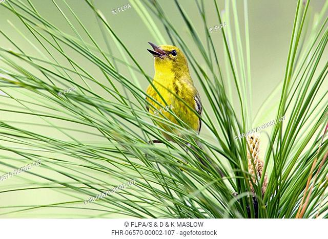 Pine Warbler Dendroica pinus adult male, singing, perched on pine needles, U S A