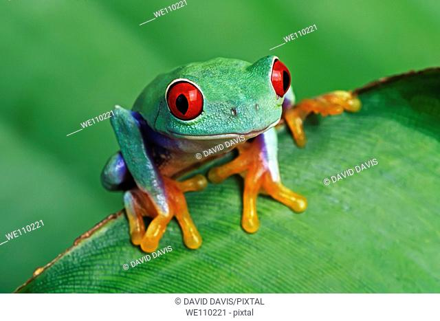 Red-eyed Treefrog Agalychnis callidryas on a green leaf