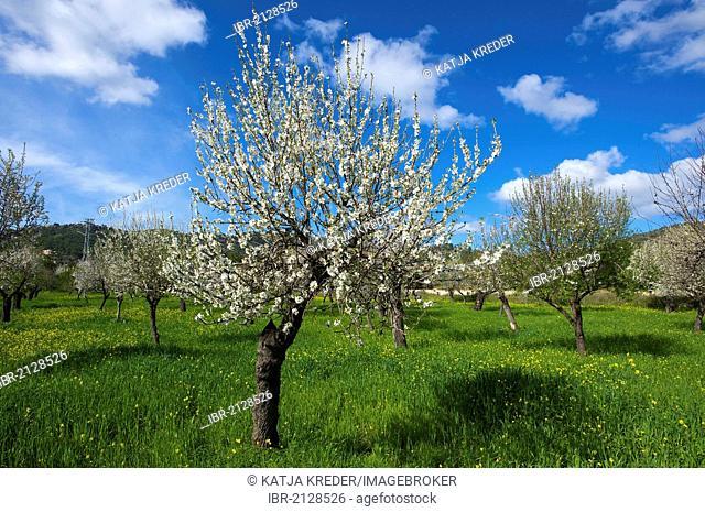 Blossoming almond tree, Majorca, Balearic Islands, Spain, Europe