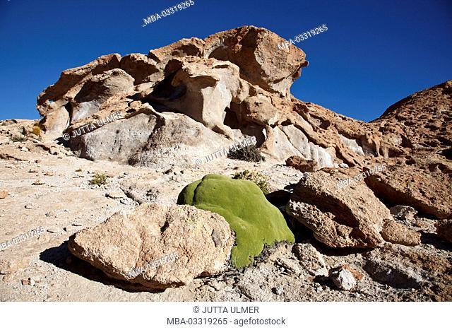 Bolivia, Los Lipez, Mirador Volcan Ollagüe, Yareta moss