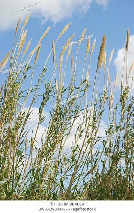 giant reed, wild cane Arundo donax, tallest gras species of Europa, Spain